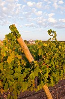 Vineyards, Bodegas Almanseñas, Almansa, Albacete, Spain