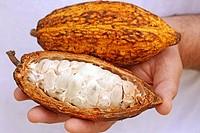 Cocoa Theobroma cacao