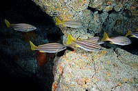 Group of yellow fish in Tenerife