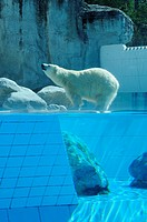 Stock photo of a Polar bear at La Palmyre zoo in France