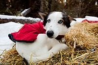 Blue_eyed sled dog with dog coat, resting on straw, curled up, Alaskan Husky, Yukon Territory, Canada