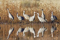 Sandhill Cranes (Grus canadensis) in the water, reflection, Bosque del Apache Wildlife Refuge, New Mexico, North America, USA