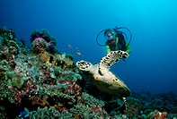 Hawksbill Turtle (Eretmochelys imbricata) and a scuba diver, Maldive Islands, Indian Ocean