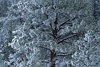 Ponderosa pine tree with frost, Kamloops, British Columbia, Canada
