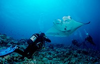 Manta Ray Manta birostris and a scuba diver, Maldive Islands, Indian Ocean