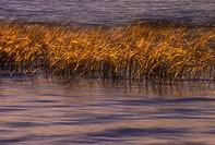 Hardstem bulrush on Lake Mindemoya, Manitoulin Island, Ontario, Canada