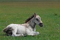 Konik horse (Equus przewalskii f. caballus), foal, tarpan or wild horse, backbreeding