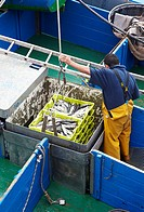 Mackerels, unloading fish at port, Santoña, Cantabria, Spain