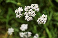 Flowering yarrow