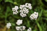 Flowering yarrow