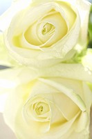 Two white roses, close_up