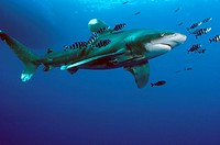 Oceanic White tip shark at Elphinstone reef in Red Sea, Egypt, accompanied by pilot fish  The pilot fish benefit by eating scraps of the shark's food ...