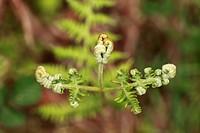 Sprouting fern, Burren, County Clare, Ireland, Europe