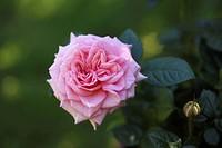Garden rose (Rosa)