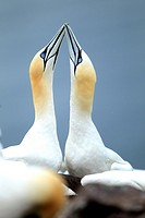 Northern Gannets (Sula bassana or Morus bassanus), Bass Rock, Scotland