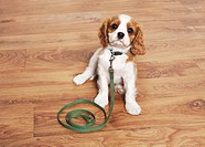 Cavalier King Charles Spaniel dog _ puppy with leash _ sitting