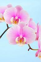Orchid (Phalaenopsis)