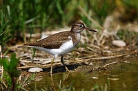 Common Sandpiper Actitis hypoleucos looking for food at the edge of a body of water