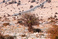 Shrub, barren landscape on the Lun peninsula, Pag island, Dalmatia, Adriatic Sea, Croatia, Europe