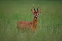 Roe buck Capreolus capreolus in tall grass