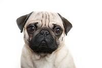 Young pug, portrait