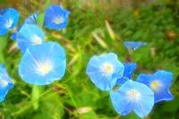 Soft focus beautiful petunia flowers