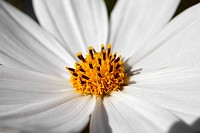 white beautiful flowers cosmos. close_up