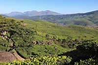 Tea plantations, highlands around Munnar, Western Ghats, Kerala, India, South Asia, Asia