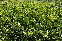 Tea leaves, detail of tea plants, tea plantations, Munnar, Kerala, India, South Asia, Asia