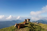 Cows and hikers at Hochgrat - Alps Allgäu Bavaria Germany