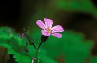 Wood Cranesbill - Geranium sylvaticum - Germany