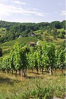 Vineyard near Virstanj - culture landscape Kozjansko - Slovenia