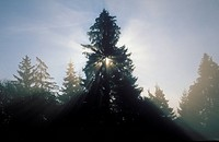 Sunbeams in morning fog _ spruce Picea abies Germany