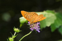 Silver-washed Fritillary - Argynnis paphia - Germany