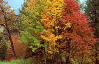 Autumnal sorbs , Aldein Italy