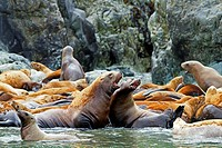 Northern Sea Lion Eumetopias jubatus Order : carnivora family : Otariidae.