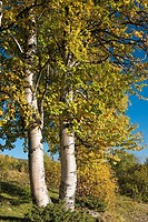 Birch tree in fall colors