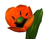 tulip. 3d