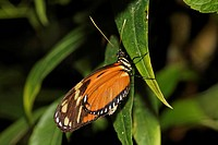 Longwing butterfly Heliconius sp., Costa Rica