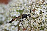 Narrow abdominal wasp host eruption assectator