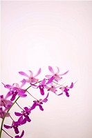 Hawaii, Kauai, Purple orchids with pink studio background.