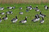 Barnacle Geese Branta leucopsis flock foraging in field, Germany