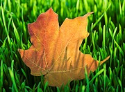 USA, New Jersey, Jersey City, Close_up view of autumn leaf in grass