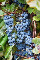 Grapes, Erie, Pennsylvania, USA