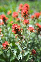 Close up of subalpine paintbrush flowers.