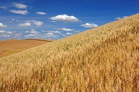 Ripe Wheat field at the Palouse Region  The verdant Palouse stretches across more than 2 million acres in eastern Washington and western Idaho  Palous...