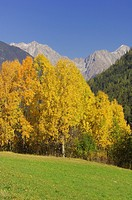 Aspen or Commen Aspen Populus tremula in autumn  Dolomites, Alps, South Tyrol, Alto Adige, Italy, Europe