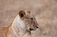 Kenya, Masai Mara National Reserve, Lioness Panthera leo profile