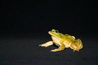 Frog on Black