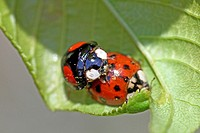 Mating Harlequin Ladybird, Harmonia Axyridis var  succinea on flowering tree  Ailanthus Altissima  Tree was covered with aphids and edibles  Male HA i...